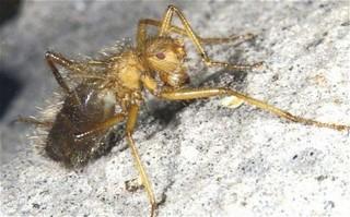 Mormotomyia Hirsuta.jpg